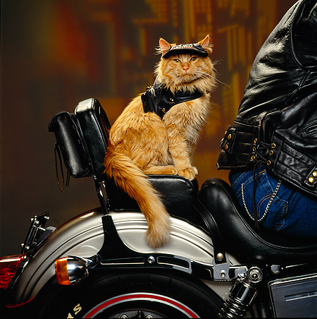 cat on harley